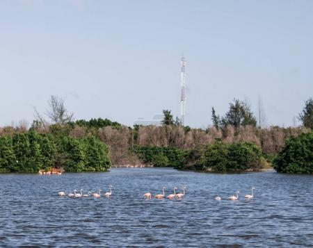 pink flamingos in river with forest on background