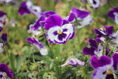 Bright city flowers Pansy