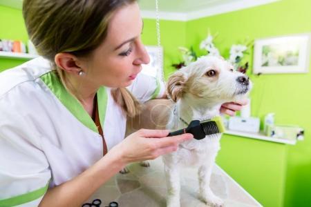 Pedicure for little dog