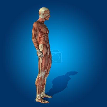 anatomy body with muscles