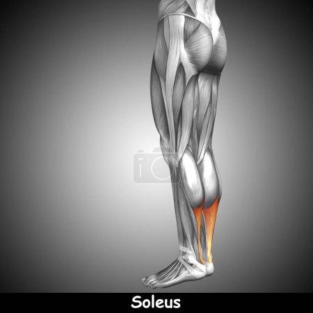 human lower legs anatomy