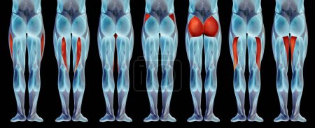 upper leg anatomy