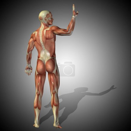 Anatomy body with muscles of strong human