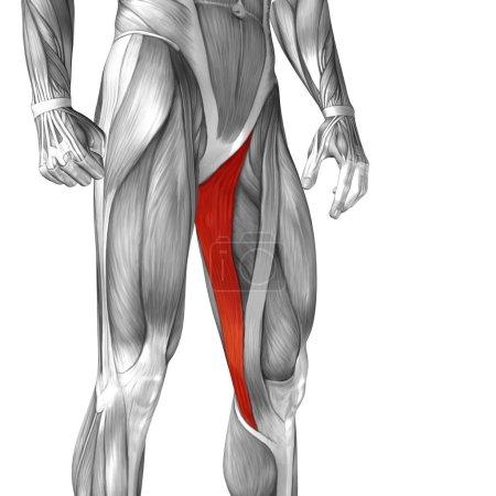 Human upper leg anatomy