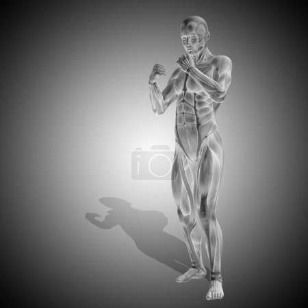 Human body anatomy with muscles