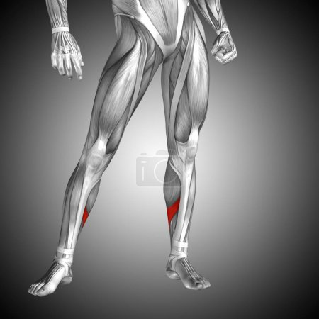 Human lower leg anatomy