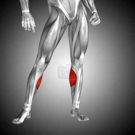 human lower leg anatomy