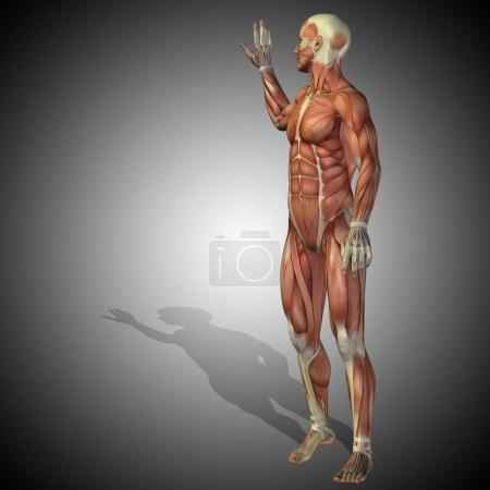 strong male body anatomy