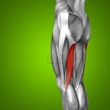human upper legs anatomy