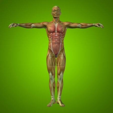 human man structure