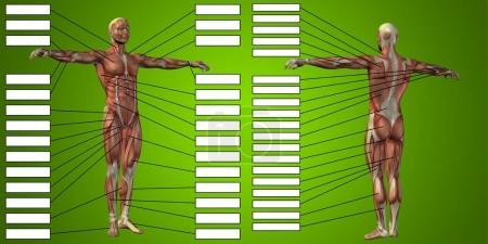 3D human man anatomy