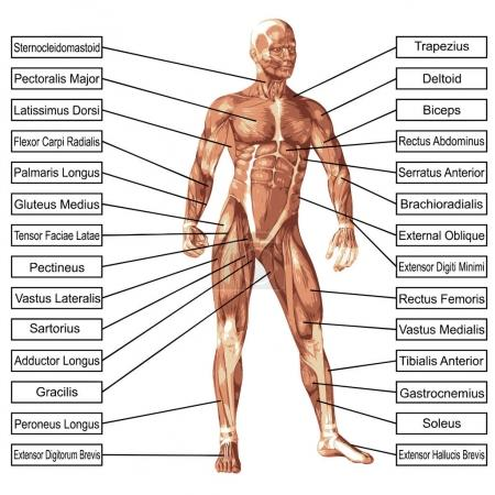 Concept or conceptual 3D human anatomy and muscle isolated on white background as a metaphor to body, tendon, spine, fit, builder, strong, biological, skinless, shape, posture, health or medical