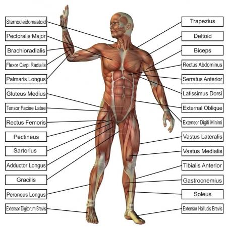 Concept or conceptual 3D human anatomy and muscle isolated on white background as a metaphor to body, tendon, spine, fit, builder, strong, biological, skinless, shape, posture, health medical
