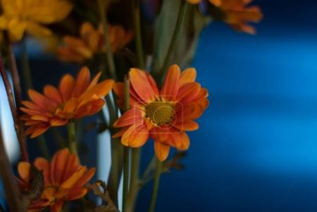 Orange daisies with a blue background