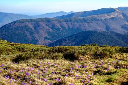 Beautiful sunny spring landscape with crocuses in the Romanian carpathian mountains, Bratocea ridge, Ciucas mountains, Brasov county, Romania, 1720m