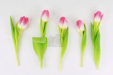 Abstract of a beautiful pink tulips on a white background .top view.  Holiday background
