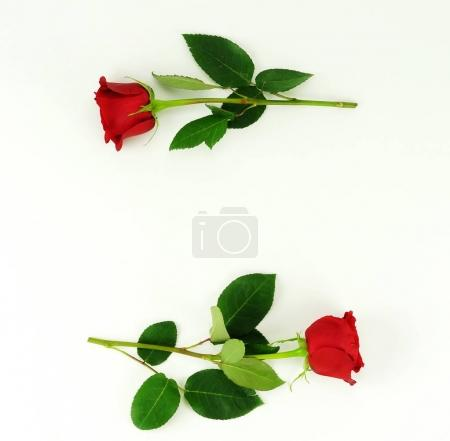 two red roses on a white background. frame flowers. top view. copy space