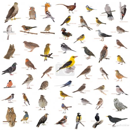 Collage of wild birds with names isolated on a whi...