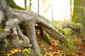 Root of an old tree, autumn nature scene