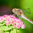 Beautiful dragonfly sitting on a pink flower. Clos...