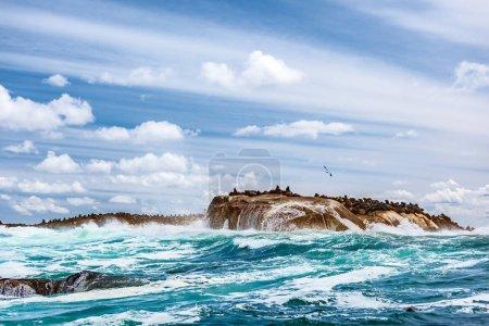 Wild seals colony on the stony island
