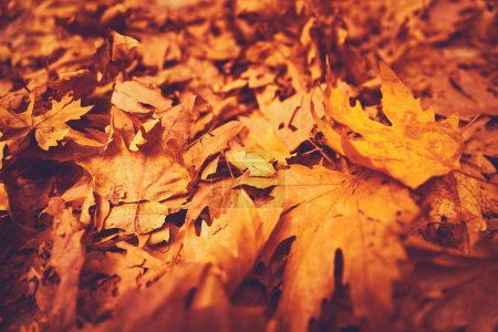 Photo for Autumn leaves background, dry orange maple foliage on the ground in the park, textured natural wallpaper, beautiful fall natur - Royalty Free Image