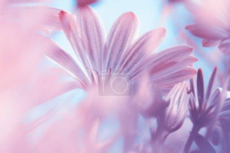 Photo pour Rêveuse fond floral, fine art, photo flou d'une fleurs daisy rose douce belle, beauté de camomille sauvage, amazing nature du printemps seaso - image libre de droit