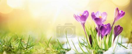 Photo pour Printemps. Fleurs de printemps en plein soleil. Nature en plein air - image libre de droit