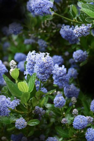 California Lilac II