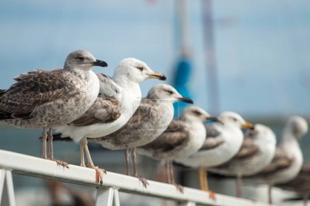 Row of seagulls