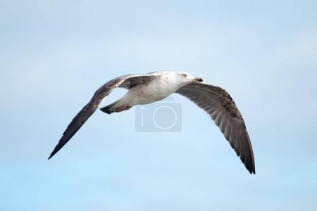 Close up of seagull flight