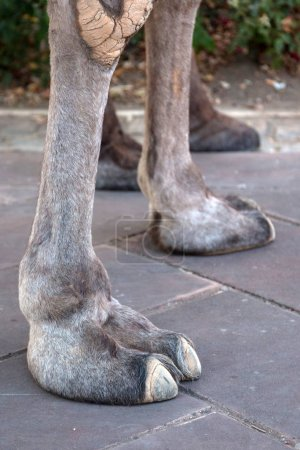 Camel feet in medieval festival