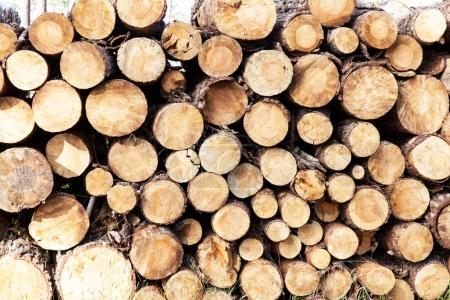 Pile of pine tree trunks