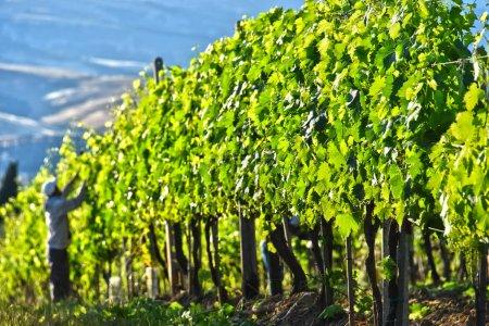 Vineyard near the city of Montalcino, Tuscany, Italy