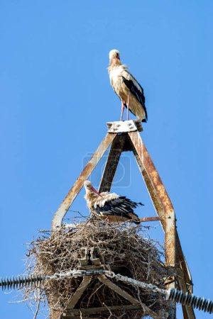 Beautiful white storks