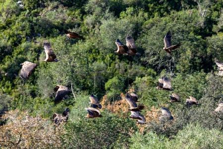 Griffon Vultures, (Gyps fulvus)