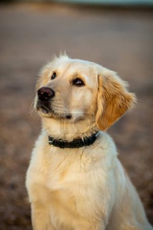 dog of Golden Retriever