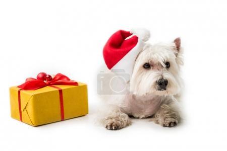 Photo pour West Highland White Terrier en bonnet de Noel pose sur plancher avec le cadeau de Noël isolé sur blanc - image libre de droit