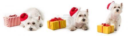 Photo pour West Highland White Terrier en bonnet de Noël sur le plancher avec des cadeaux de Noël isolé sur blanc - image libre de droit