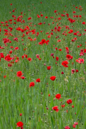 red blooming poppies