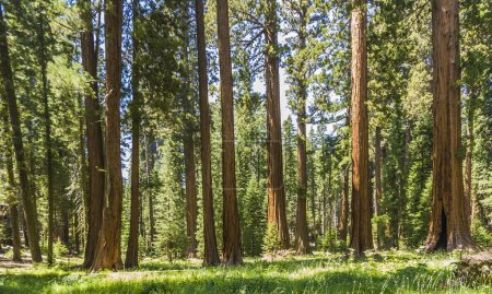 Photo pour Grands et gros séquoias dans le parc national de sequoia belle - image libre de droit