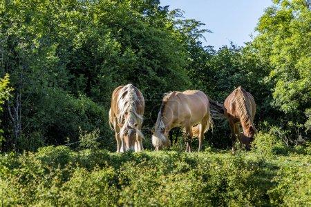 Photo pour Pâturage de chevaux dans la région du Jura, France - image libre de droit