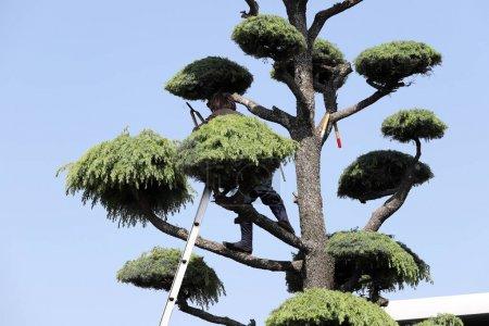 Japanese professional gardener pruning a cedar tree with ladder