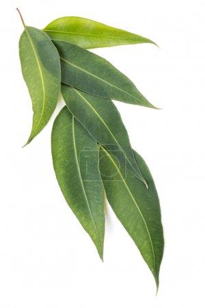 Photo pour Les feuilles d'eucalyptus sont isolées sur fond blanc. Grand fichier . - image libre de droit