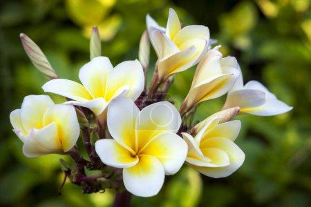 Photo pour Plumeria ou Frangipani. Fleurs tropicales blanches et jaunes. Fond flou . - image libre de droit