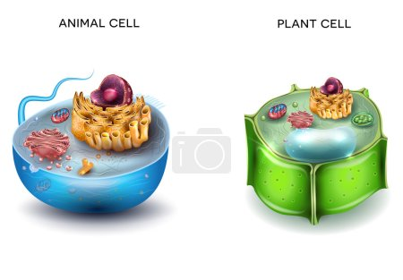 Illustration for Animal Cell and Plant Cell structure, cross section detailed colorful anatomy. - Royalty Free Image