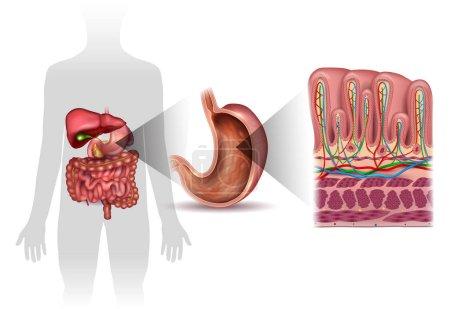 Illustration pour Couches de paroi de l'estomac anatomie détaillée, et la silhouette humaine avec des organes internes, beau dessin coloré sur un fond blanc - image libre de droit