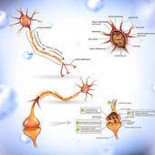 Detailed neuron illustration