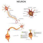 Neuron detailed anatomy