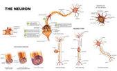 The neuron anatomy poster
